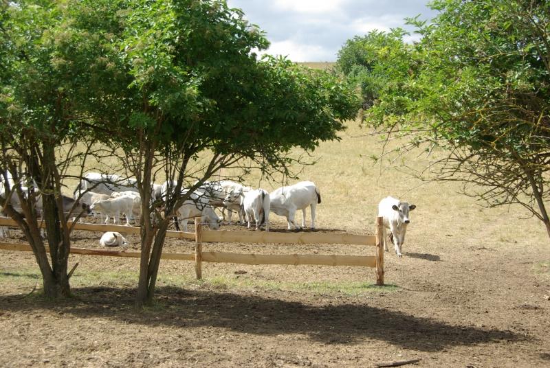 Pasenie-dobytka
