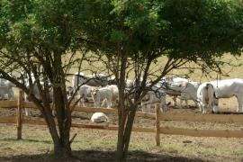 Francuzske-plemeno-krav
