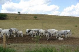 Masove-plemeno-krav